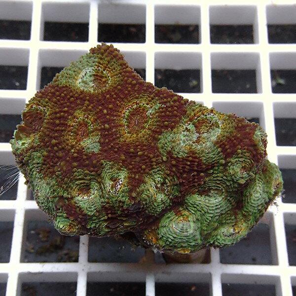 【サンゴ現物3】キクメイシ !15時までのご注文で当日発送 【サンゴ】