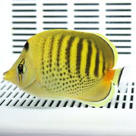 シチセンチョウ 6-8cm±! 海水魚 チョウチョウウオ 餌付け15時までのご注文で当日発送【PHセール対象】【チョウチョウウオ】