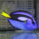 ナンヨウハギ MLサイズ 8-10cm !ハギ 海水魚 15時までのご注文で当日発送【ハギ】