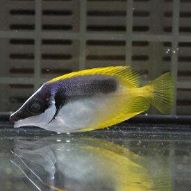 ヒフキアイゴ 6-8cm±! 海水魚 アイゴ餌付け 【PHセール対象】【ハギ】