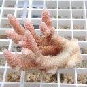 【サンゴ現物12】オージーハイマツ フラグ ! 15時までのご注文で当日発送 【べっぴん珊瑚祭り対象商品】