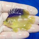 【現物1】コリンズピグミーエンゼル 6cm±!海水魚 ヤッコ 15時までのご注文で当日発送【ヤッコ】