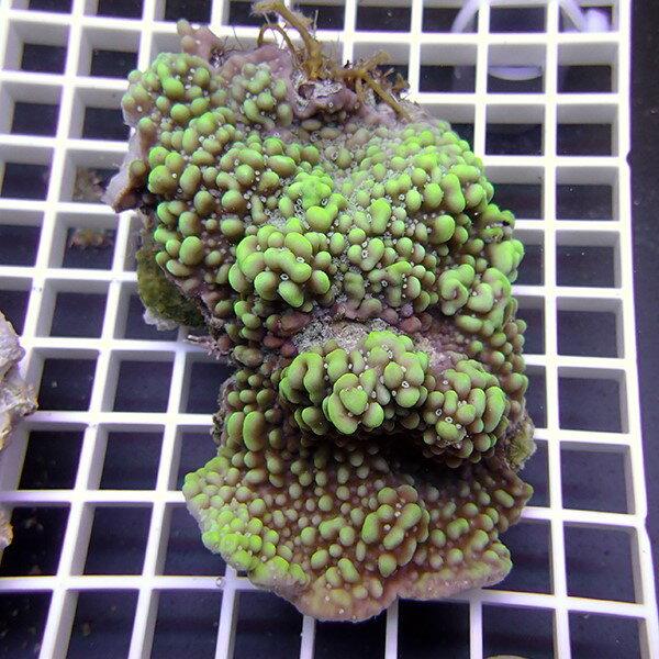 【サンゴ現物20】コモンサンゴ トンガ産! 15時までのご注文で当日発送 べっぴん珊瑚祭り対象
