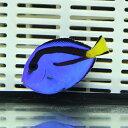 ナンヨウハギ Sサイズ 3-4.5cmぐらい! ハギ 海水魚 餌付け【ハギ】