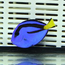 ナンヨウハギ Mサイズ 5-7cm ! 多少ヒレ欠け有ハギ 海水魚 15時までのご注文で当日発送【ハギ】