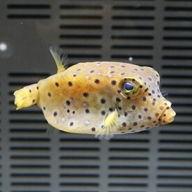 ハコフグ 6-8cm±! 海水魚 フグ 【餌付け】15時までのご注文で当日発送【フグ】