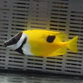 ヒフキアイゴ 7-9±! ハギ 海水魚 人工餌付け!15時までのご注文で当日発送【ハギ】