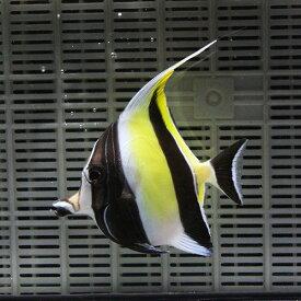 ツノダシ 8-10cm± 1匹 多少ヒレ欠けあり! 海水魚 15時までのご注文で当日発送【ハギ】