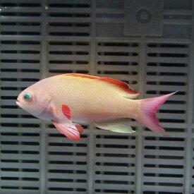 キンギョハナダイ オス【3匹セット】 6-8cm±! 海水魚 ハナダイ【餌付け】15時までのご注文で当日発送【ハナダイ】