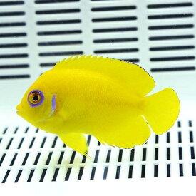 ハワイ産レモンピール エンゼル 6-8cm±! 海水魚 ヤッコ 15時までのご注文で当日発送【ヤッコ】
