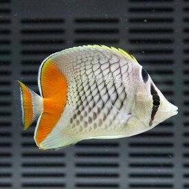 アミメチョウ 5-7cm±! 海水魚 チョウチョウウオ 15時までのご注文で当日発送【チョウチョウウオ】