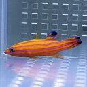 【現物2】キャンディーバスレット 4.8cm± !カリブ産 海水魚 生体 餌付け済 15時までのご注文で当日発送【ハタ】