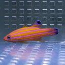 【現物4】キャンディーバスレット 4.8cm± !カリブ産 海水魚 生体 餌付け済 15時までのご注文で当日発送【ハタ】