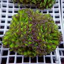 【サンゴ現物177】ナガレハナサンゴ!15時までのご注文で当日発送 【サンゴ】