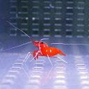 ホワイトソックス 2-4cm± ベビー 海水魚 エビ!【15時までのご注文で当日発送】【エビ】