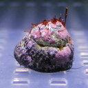 シッタカ貝 3匹セット 水槽のコケ対策に! クリーナー 貝 【15時までのご注文で当日発送】【貝】