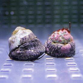 シッタカ貝 30匹セット (注意)水なしで送ります! クリーナー 貝 【15時までのご注文で当日発送】【貝】
