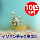 イソギンチャクモエビ 【10匹】 約1-2cm±! !【15時までのご注文で当日発送】海水魚 クマノミ【エビ】