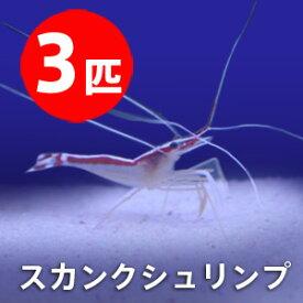 スカンクシュリンプ Sサイズ 【3匹】! 海水魚 エビ 餌付け!【15時までのご注文で当日発送】(t129