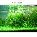 (水草) 国産 アナカリス(10本)メダカ・金魚藻 送料無料 即日発送