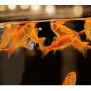 (金魚)小赤 100匹 エサ用金魚 大和郡山産 エサ金 餌金 送料無料