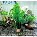 (水草) 国産 アナカリス(10本)メダカ・金魚藻 送料無料