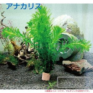 (水草) 国産 アナカリス(3本)メダカ・金魚藻 送料無料