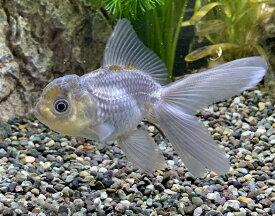 青文魚 (3〜5cm)2020年7月31日入荷