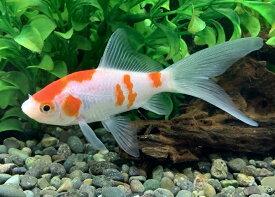 国産金魚 コメット 3匹 (約6cm)2020年6月10日入荷