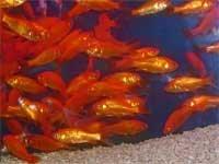 小赤 エサ金 (3〜5cm) 100匹