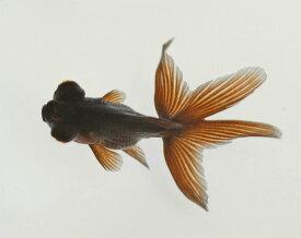 国産金魚 黒出目金 1匹 2020年5月26日入荷