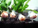 (金魚) ピンポンパール Mサイズ 【5匹セット】 (金魚/観賞魚/生体/かわいい)