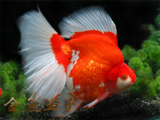 ☆★One finest individual ★☆ 4 years old printed cotton broadtail goldfish (around 20cm) from Guangzhou
