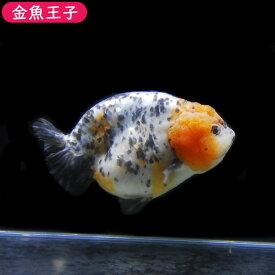 【金魚王子】一点物 江戸錦 (14センチ前後) 個体番号:asd646 金魚 きんぎょ 生体 らんちゅう 厳選個体