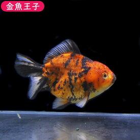 【金魚王子】一点物 三色セルフィンらんちゅう (12センチ前後) 個体番号:asd637 金魚 きんぎょ 生体 セルフィンらんちゅう 厳選個体