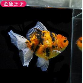 【金魚王子】一点物 変り柄オランダ(タイ系統)  (19センチ前後) 個体番号:asd671 金魚 きんぎょ 生体 オランダ 厳選個体