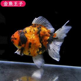 【金魚王子】一点物 変り柄オランダ(タイ系統)  (17センチ前後) 個体番号:asd673 金魚 きんぎょ 生体 オランダ 厳選個体