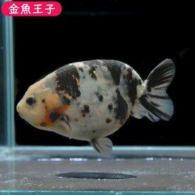 【金魚王子】一点物 江戸錦 (12センチ前後) 個体番号:asd731 金魚 きんぎょ 生体 らんちゅう 厳選個体