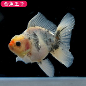 【金魚王子】一点物 ローズテールオランダ  (11センチ前後) 個体番号:asd751 金魚 きんぎょ 生体 オランダ 厳選個体