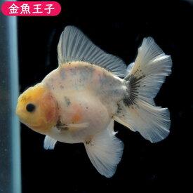 【金魚王子】一点物 ローズテールオランダ (11センチ前後) 個体番号:asd753 金魚 きんぎょ 生体 オランダ 厳選個体