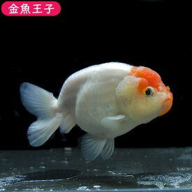 【金魚王子】一点物 桜錦 (13センチ前後) 個体番号:asd781 金魚 きんぎょ 生体 らんちゅう 厳選個体