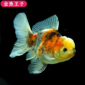 【金魚王子】三色ローズテールオランダ (11センチ前後) 個体番号:asd812 金魚 きんぎょ 生体 オランダ 厳選個体