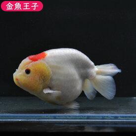 【金魚王子】丹頂らんちゅう (12センチ前後) 個体番号:asd863 金魚 きんぎょ 生体 らんちゅう 厳選個体