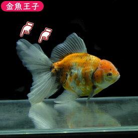 【金魚王子】三色オランダ(タイ系統)(19センチ前後) 個体番号:kos103 金魚 きんぎょ 生体 オランダ 厳選個体 一点物
