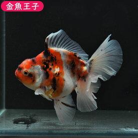 【金魚王子】ローズテールオランダ (11センチ前後) 個体番号kos147 金魚 きんぎょ 生体 オランダ 厳選個体