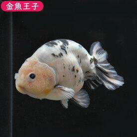 【金魚王子】変り柄キャリコらんちゅう (12センチ前後) 個体番号:kos150 金魚 きんぎょ 生体 らんちゅう 厳選個体