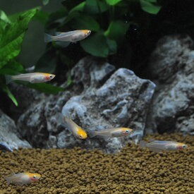紅白透明鱗メダカ【3匹セット】(観賞魚/淡水魚/飼育/めだか/メダカ)
