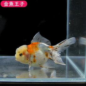 【金魚王子】キャリコオランダ  (12センチ前後) 個体番号:vbn103 金魚 きんぎょ 生体 オランダ 厳選個体