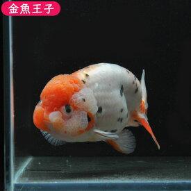 【金魚王子】変わり柄キャリコライオンヘッドらんちゅう(11センチ前後) 個体番号:asd903 金魚 きんぎょ 生体 らんちゅう 厳選個体