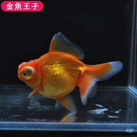 【金魚王子】レッド花房竜眼(11センチ前後) 個体番号bnm114 金魚 きんぎょ 生体 出目オランダ 厳選個体